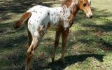 Appaloosa filly on HorseYard.com.au (thumbnail)