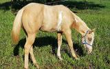 Pritty Palomino overo weanling filly Reg PHAA on HorseYard.com.au (thumbnail)