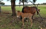 Mule Gelding 9 months old on HorseYard.com.au (thumbnail)