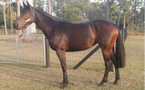 Stunning Thoroughbred Filly on HorseYard.com.au (thumbnail)