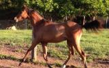 Yearling RP Gelding to make Future open Galloway of the highest calibre on HorseYard.com.au (thumbnail)