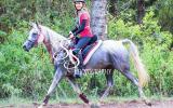 Endurance Arabian Mare on HorseYard.com.au (thumbnail)