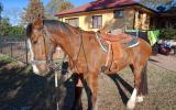 Clydie  X stockhorse on HorseYard.com.au (thumbnail)
