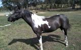 TRIPLE REGISTERED PONY on HorseYard.com.au (thumbnail)