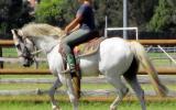 Rare Percheron X Andalusian Gelding + Video+ on HorseYard.com.au (thumbnail)