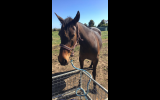 Beautiful Outgoing Project Mare  on HorseYard.com.au (thumbnail)