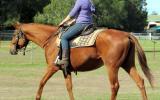 Quiet Red Stock Gelding + VIDEO+ on HorseYard.com.au (thumbnail)