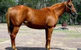 Quiet Sorrell Purebed QH Mare + VIDEO+ on HorseYard.com.au (thumbnail)