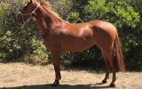 Arab/Warmblood Registered Mare on HorseYard.com.au (thumbnail)