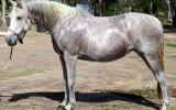 Quiet QH X Arab Mare +VIDEO+ on HorseYard.com.au (thumbnail)