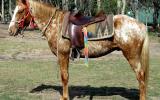 Kind Red Appaloosa  QH Gelding + VIDEO+ on HorseYard.com.au (thumbnail)