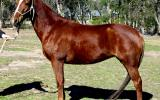 Easy Going Red QH Mare + VIDEO on HorseYard.com.au (thumbnail)