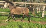 Pure Polish Mare - 'Zephyr' on HorseYard.com.au (thumbnail)