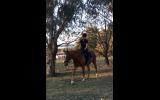 HONEST ALLROUNDER on HorseYard.com.au (thumbnail)