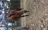 Stockhorse x, 5y/o on HorseYard.com.au (thumbnail)