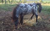 Stunning bay leopard colt...show stud awesome on HorseYard.com.au (thumbnail)