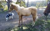 QUARTER HORSE PALOMINO COLT on HorseYard.com.au (thumbnail)