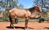 QH x appaloosa filly on HorseYard.com.au (thumbnail)