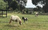 Miniature Ponies on HorseYard.com.au (thumbnail)
