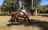 Bright bay gelding 16.1hh rising 7 on HorseYard.com.au (thumbnail)