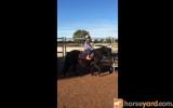 10-11 hh Mare on HorseYard.com.au (thumbnail)