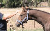 Anglo Arabian Yearling Filly(make a reasonable offer). on HorseYard.com.au (thumbnail)