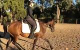 Sweet Australian Riding Pony - Urgent Sale on HorseYard.com.au (thumbnail)