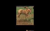 HyDrive Cat Grandson on HorseYard.com.au (thumbnail)