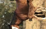 Welsh C mare  on HorseYard.com.au (thumbnail)