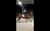 'Joey' FOR SALE.  16 hands, 18 year old TB cross.  on HorseYard.com.au (thumbnail)