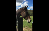 Quality young horse on HorseYard.com.au (thumbnail)