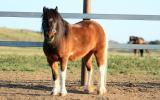 Pinto pony filly unbroken on HorseYard.com.au (thumbnail)