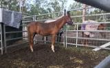1.5 yr QH with Bling on HorseYard.com.au (thumbnail)