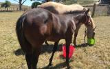 Quality Registered Quarter Horse on HorseYard.com.au (thumbnail)