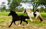 Stunning Black Gypsy Cob Gelding For Sale on HorseYard.com.au (thumbnail)
