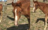 Jaxson on HorseYard.com.au (thumbnail)