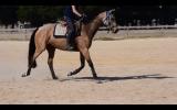 6 YO Buckskin Mare on HorseYard.com.au (thumbnail)