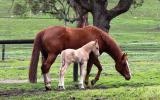 Broodmare - WP Aint She Phenomenal. Pic as yearling. on HorseYard.com.au (thumbnail)