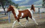 Chestnut Tobiano Arabian (75%) Filly on HorseYard.com.au (thumbnail)