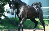Chestnut Tobiano Part Arabian Mare on HorseYard.com.au (thumbnail)