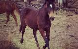 STUDBOOK ASH YEARLING FILLY - PF Abdul lines on HorseYard.com.au (thumbnail)