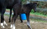 3 quality Andalusian x colt foals by Campeon Hermoso for sale. on HorseYard.com.au (thumbnail)