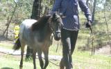 mini horse colt appy show stunning on HorseYard.com.au (thumbnail)