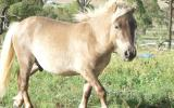 mini horse colt chocholate taffy stunning FRIENDLY on HorseYard.com.au (thumbnail)