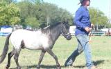 miniature, small horse,SHOW on HorseYard.com.au (thumbnail)