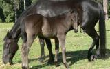 Package - ASH Black Mare with 2016 ASH reg Black Filly Foal at Foot Mare is Hardrock Jet, ASH reg.  on HorseYard.com.au (thumbnail)
