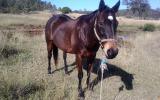 Excellent trail riding horse on HorseYard.com.au (thumbnail)