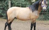 Buckskin Welsh A Stallion on HorseYard.com.au (thumbnail)