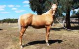 Rio Gold - Weanling colt by LP Kids Yella Image (imp) on HorseYard.com.au (thumbnail)