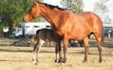 Gorgeous AQHA Broodmare on HorseYard.com.au (thumbnail)